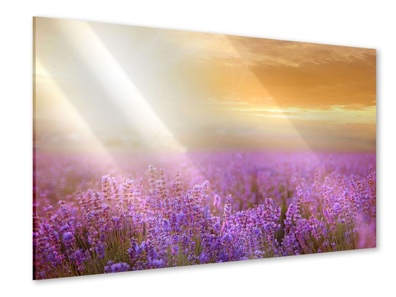 Acrylglasbild Sonnenuntergang beim Lavendelfeld