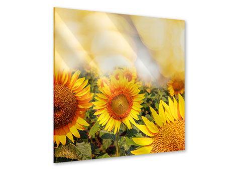 Acrylglasbild Das Licht der Sonnenblumen