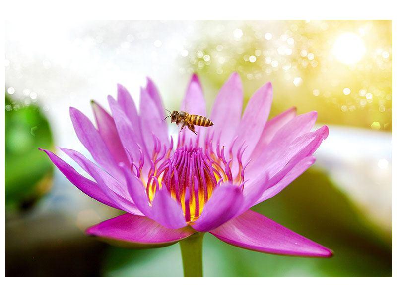 Acrylglasbild Die Lotus mit Biene