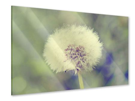 Acrylglasbild Die Pusteblume