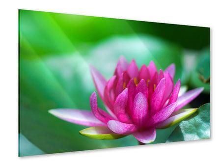 Acrylglasbild Lotus in Pink