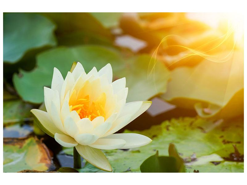 Acrylglasbild Romantische Seerose