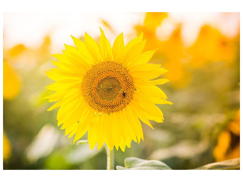 Acrylglasbild Sunflower