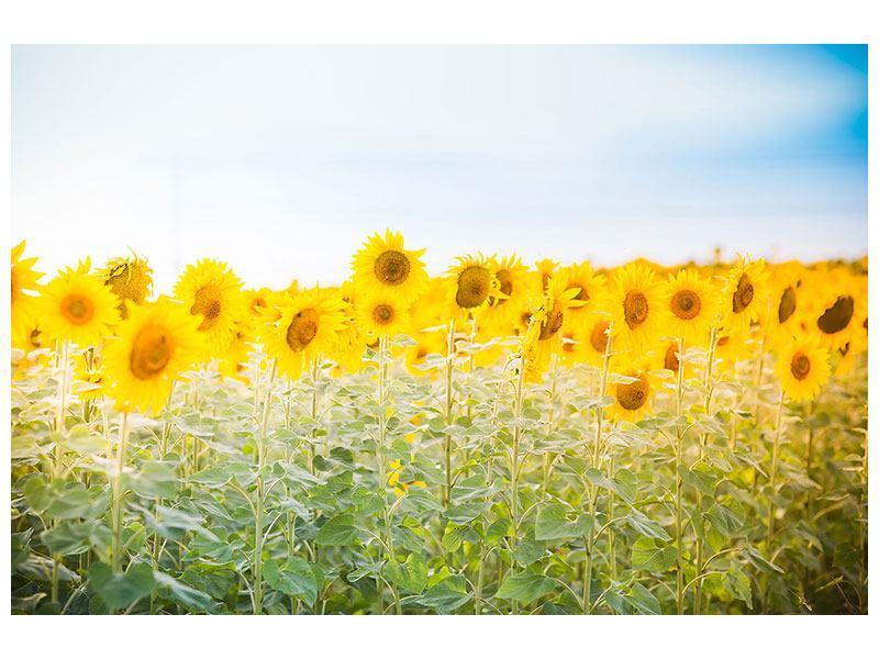 Acrylglasbild Im Sonnenblumenfeld