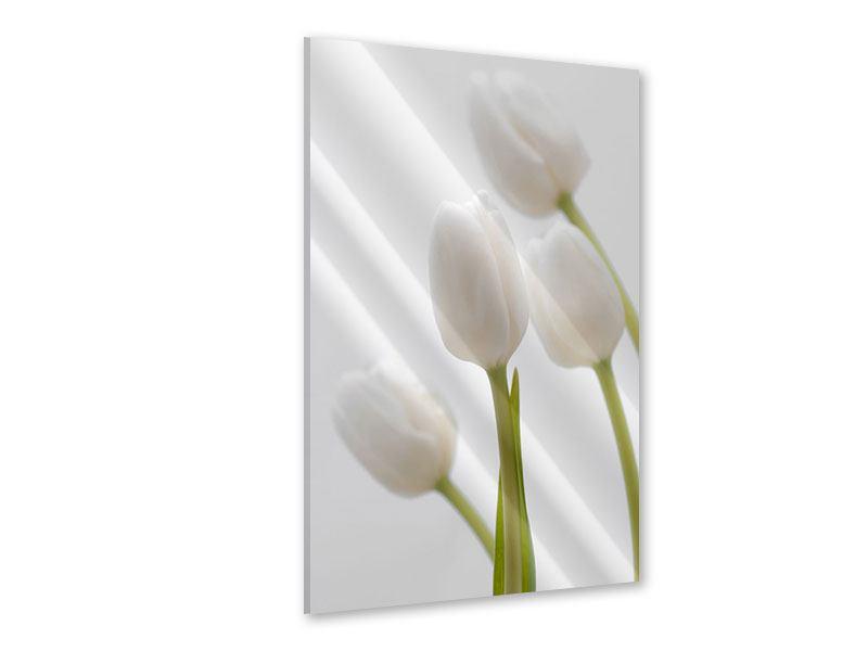 Acrylglasbild Weisse Tulpen