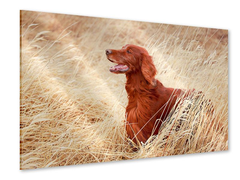 Acrylglasbild Irish Red Setter