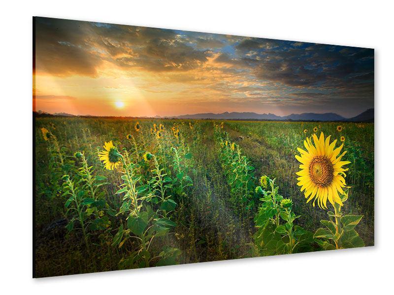 Acrylglasbild Sonnenblumenfeld im Abendrot