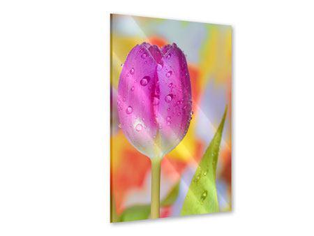 Acrylglasbild Die Tulpe im Morgentau