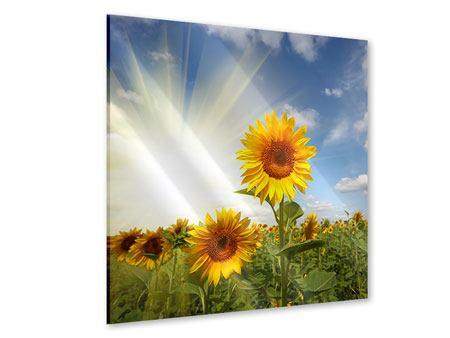 Acrylglasbild Sonnenblumen im Sonnenlicht