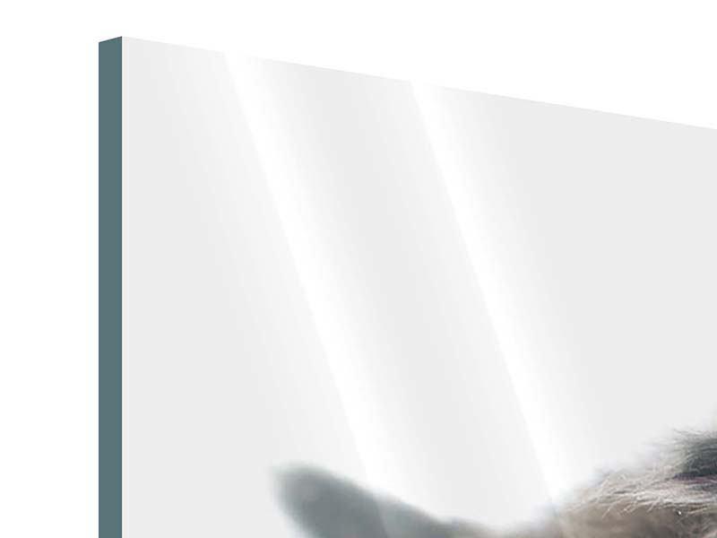 Acrylglasbild Perserkitten