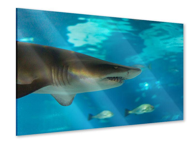 Acrylglasbild Der Haifisch