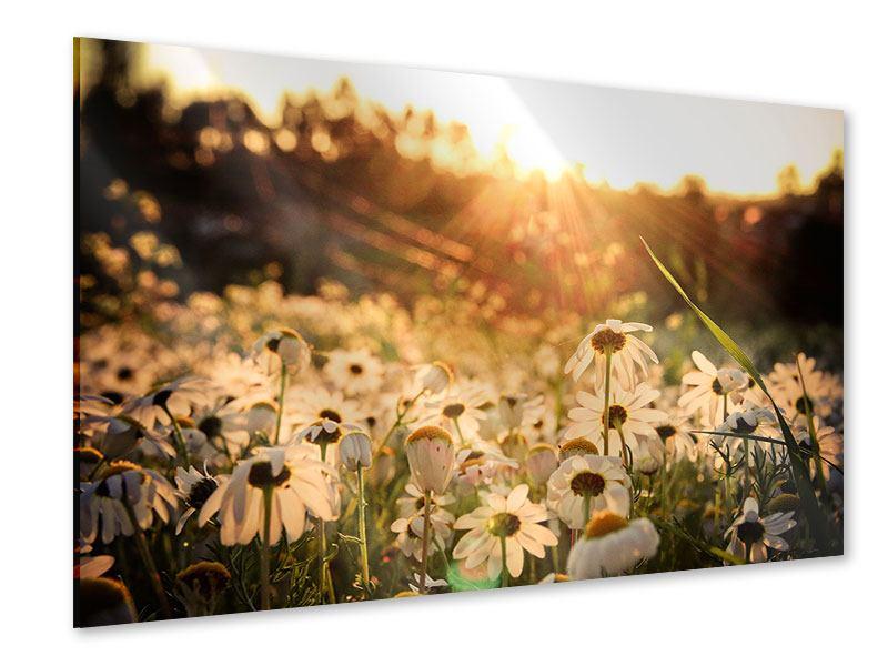 Acrylglasbild Gänseblümchen bei Sonnenuntergang