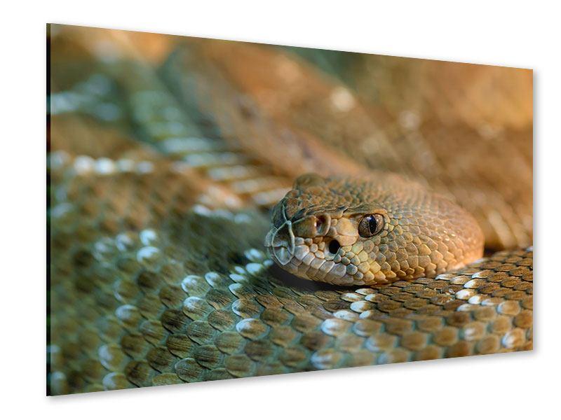 Acrylglasbild Viper