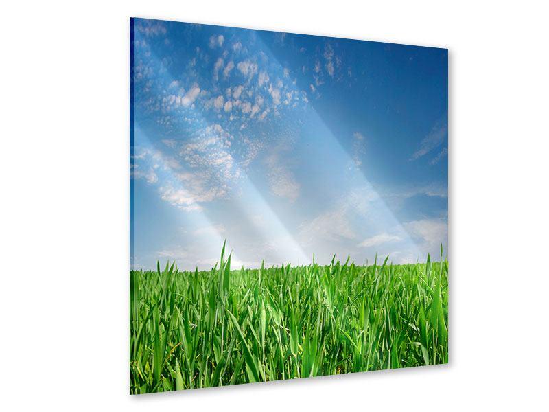 Acrylglasbild Das Gras