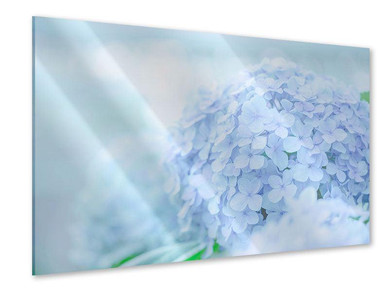 Acrylglasbild Die Hortensie