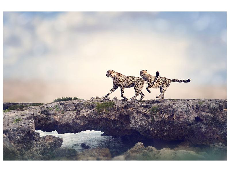 Acrylglasbild Zwei Geparden
