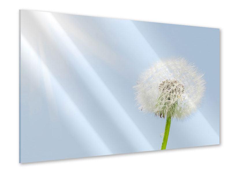 Acrylglasbild Der Löwenzahn im Sonnenstrahl