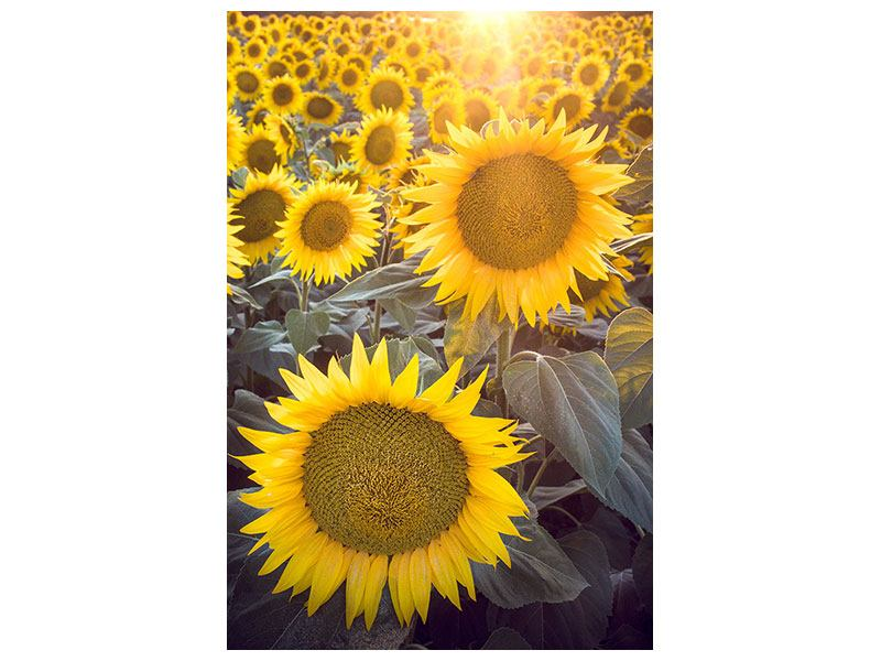 Acrylglasbild Die Sonnenblumenperspektive