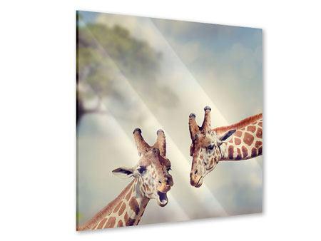 Acrylglasbild Giraffen