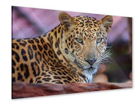 Acrylglasbild Leopard