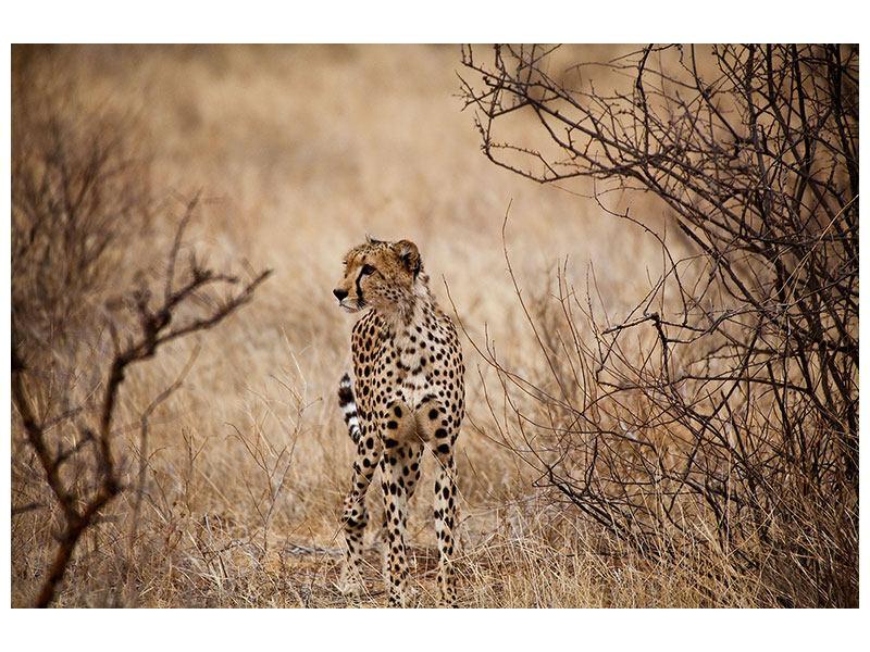 Acrylglasbild Eleganter Gepard