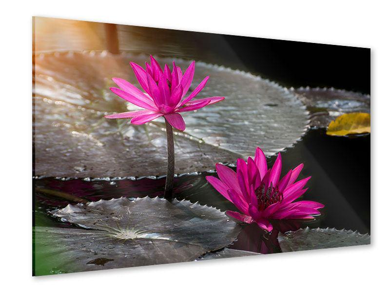 Acrylglasbild Seerosen im Morgentau