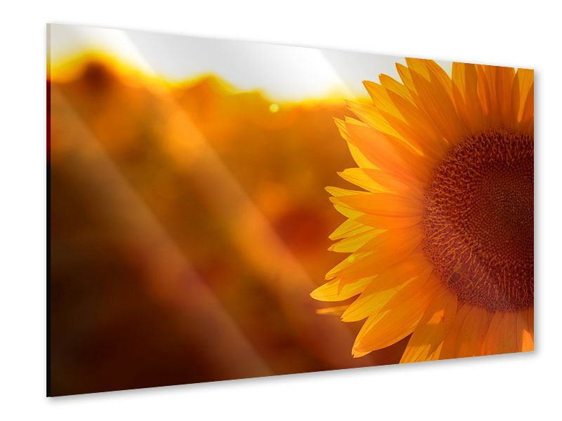 Acrylglasbild Macro-Sonnenblume