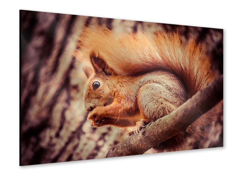 Acrylglasbild Eichhörnchen