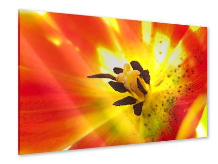 Acrylglasbild Die Narbe einer Tulpe XXL