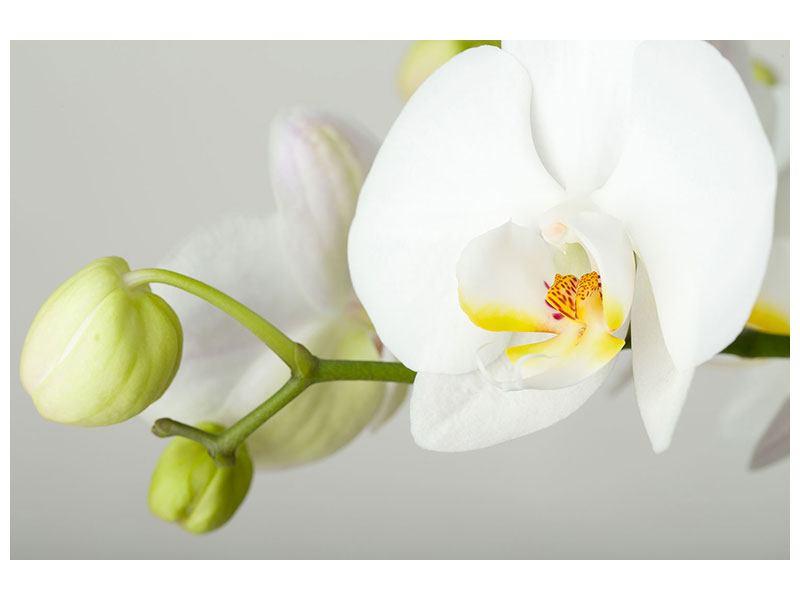Acrylglasbild Riesenorchidee