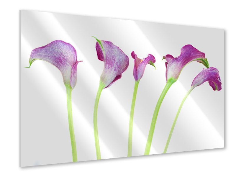 Acrylglasbild Callas in Lila