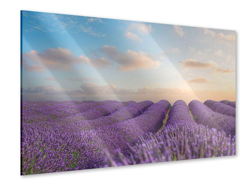 Acrylglasbild Das blühende Lavendelfeld