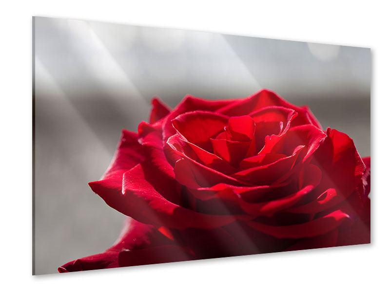 Acrylglasbild Rote Rosenblüte