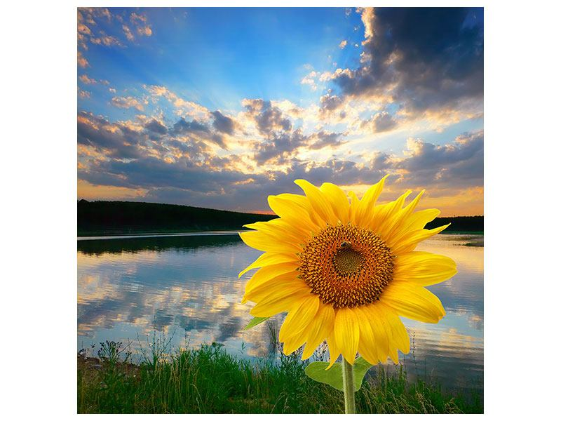 Acrylglasbild Sonnenblume am See
