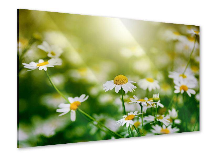 Acrylglasbild Die Gänseblümchen