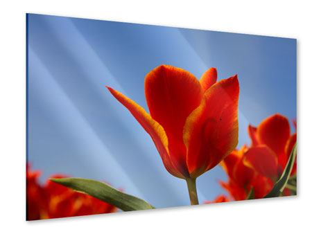 Acrylglasbild Rote Tulpen in XXL
