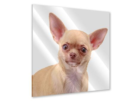 Acrylglasbild Chihuahua