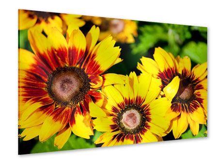 Acrylglasbild Reife Sonnenblumen