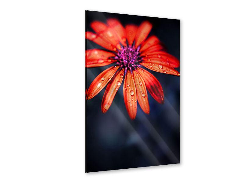 Acrylglasbild Colored Gänseblümchen