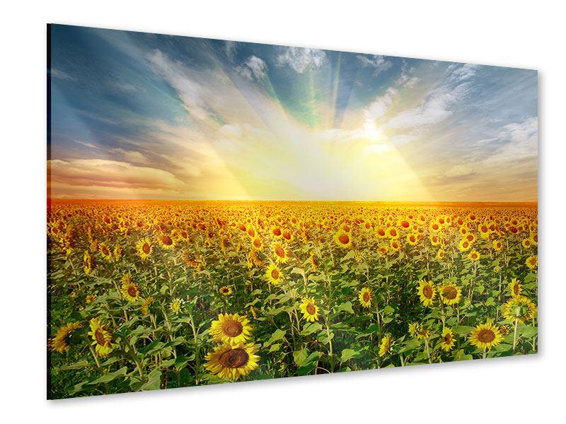 Acrylglasbild Ein Feld voller Sonnenblumen