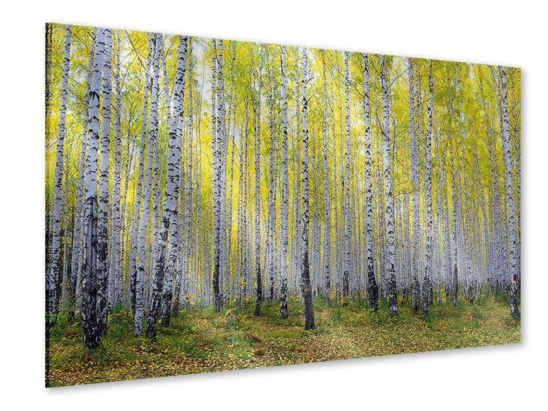Acrylglasbild Herbstlicher Birkenwald