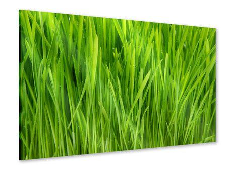 Acrylglasbild Grashalme im Morgentau