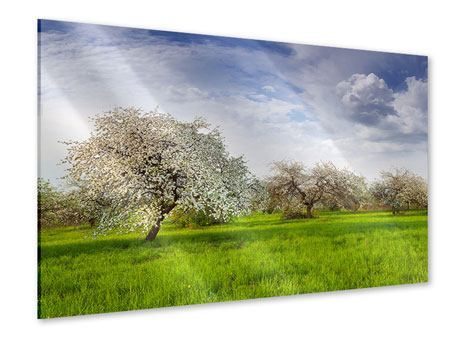 Acrylglasbild Apfelbaum-Garten