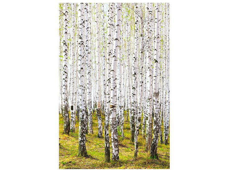 Acrylglasbild Der Birkenwald im Frühling