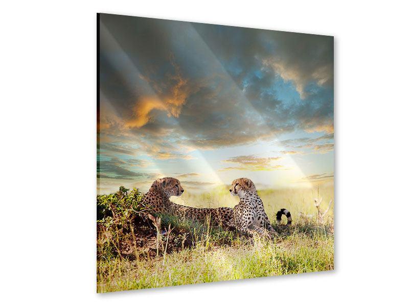 Acrylglasbild Geparden