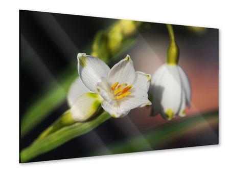 Acrylglasbild Schneeglöckchen XXL