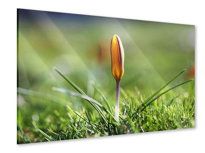 Acrylglasbild Die Blütenknospe