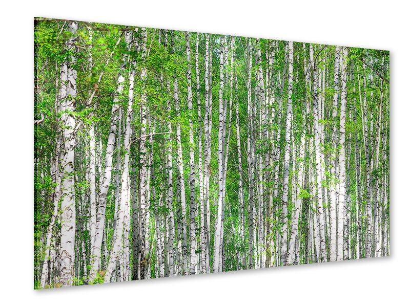 Acrylglasbild Der Birkenwald