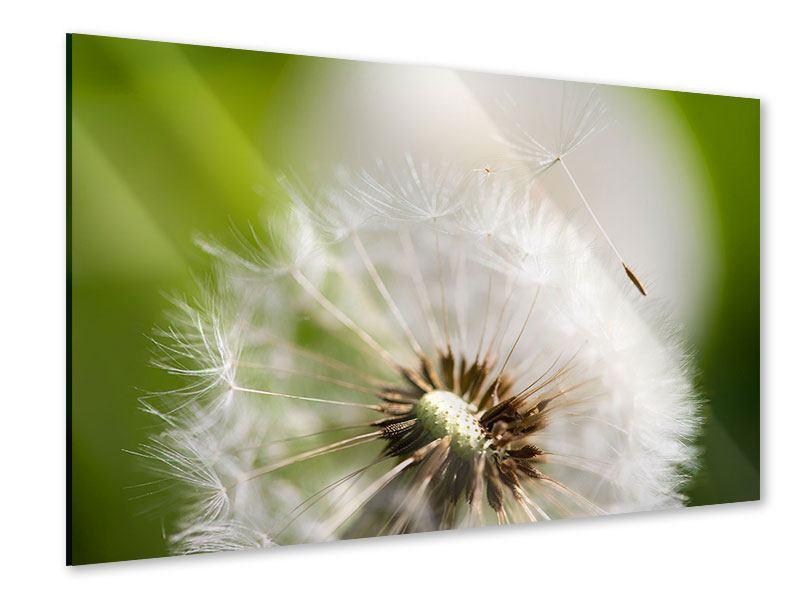 Acrylglasbild Pusteblume Löwenzahn