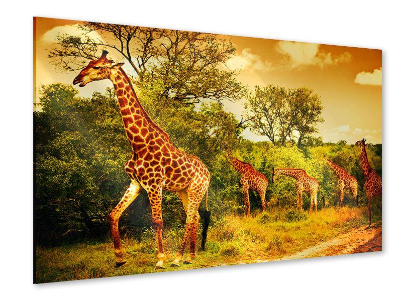 Acrylglasbild Südafrikanische Giraffen
